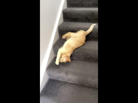 Cat slides to go downstairs without putting in any efforts