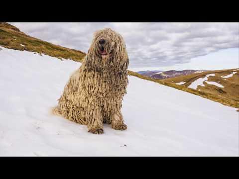 كل المعلومات عن الكلب المجري الغريب الكومندور (كلب الممسحه )  komondor dog