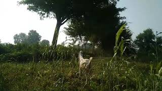 OMG!!😱 Goat meeting first time