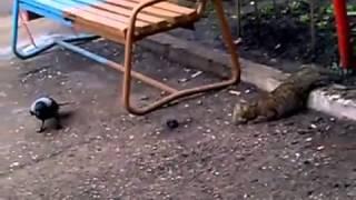 Ворона и кошка кто хитрей  Ворона жжет