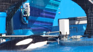 Tilikum Still Lethargic During Shamu Shows