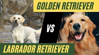 Labrador Retriever vs Golden Retriever // Which dog should you get