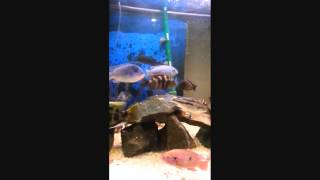 My 100 Gallon Cichlid Aquarium As Well As My 30 Gallon Baby Cichlid Tank