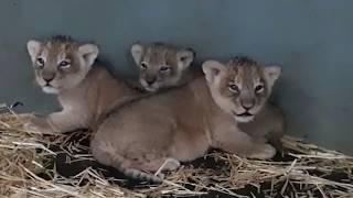 Leeuwenwelpjes Diergaarde Blijdorp update 1 oktober