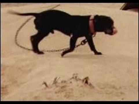 NIGERINO/FRISCO/CARVER pitbull puppy | FunnyDog TV