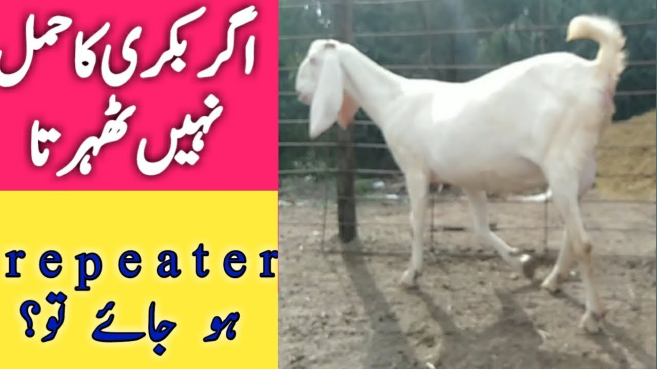 Rajanpuri goat | Gulabi Goat | how to do if a goat not become pregnant |  pregnant goat signs