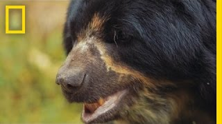 Saving South America's Only Bear Species