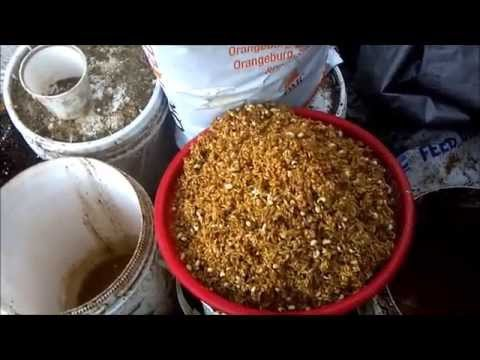 Feeding Chickens Fermented Grains