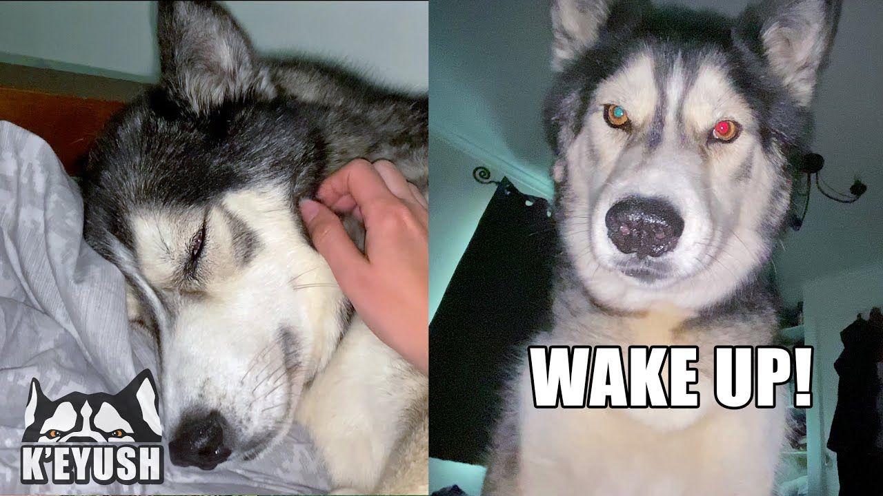 Falling Asleep With And Being Woken Up By My Husky!
