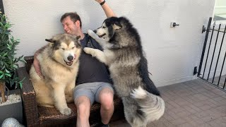 Coming Home To Man's Best Friend (Cutest Fluffy Bears!!)