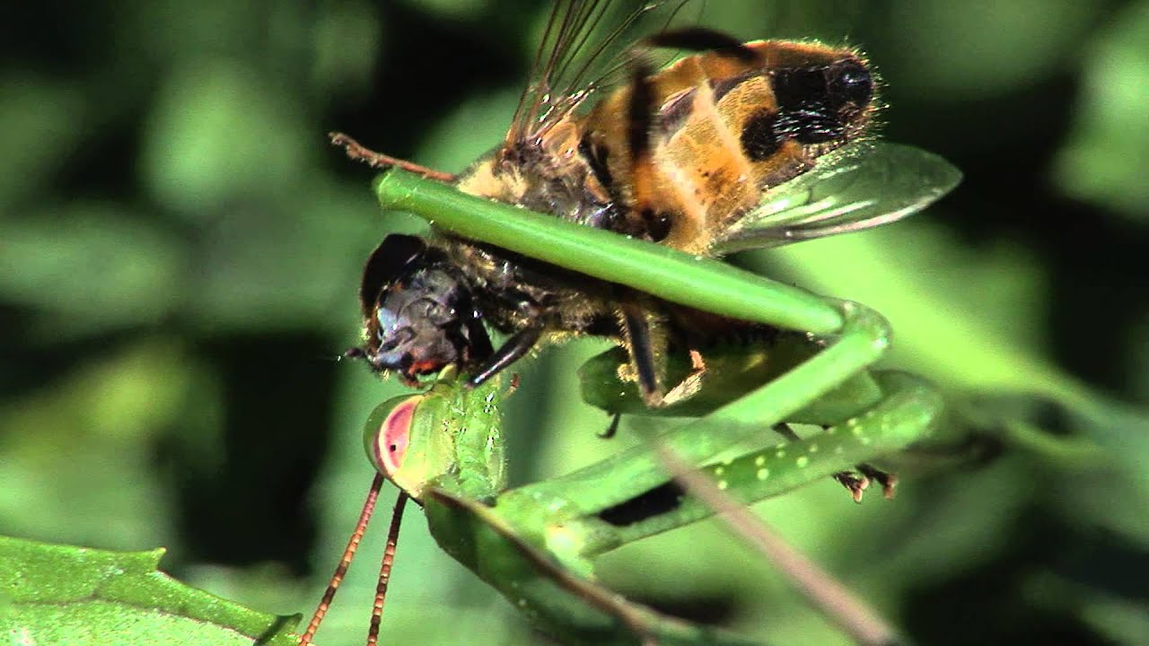 Praying Mantis eats fly alive