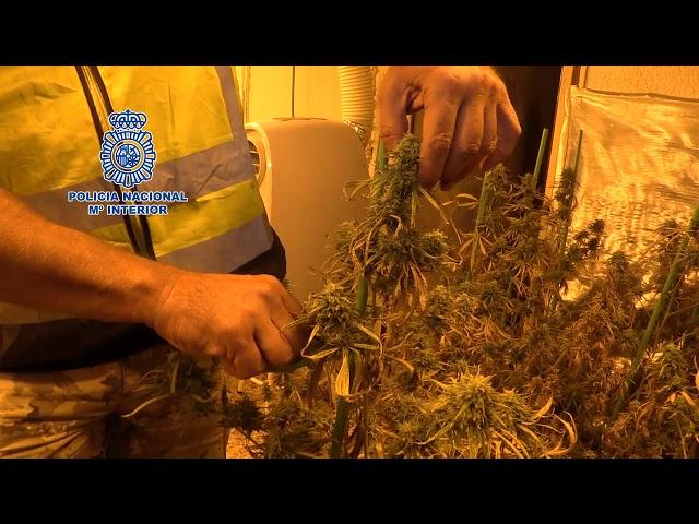 Desarticulada un grupo que cultivaba marihuana para su exportación al extranjero