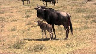 Hyena tries to catch a just born gnu