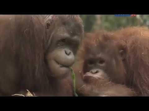 Остров орангутанов, сезон 1, серия 1 - Начало новой жизни