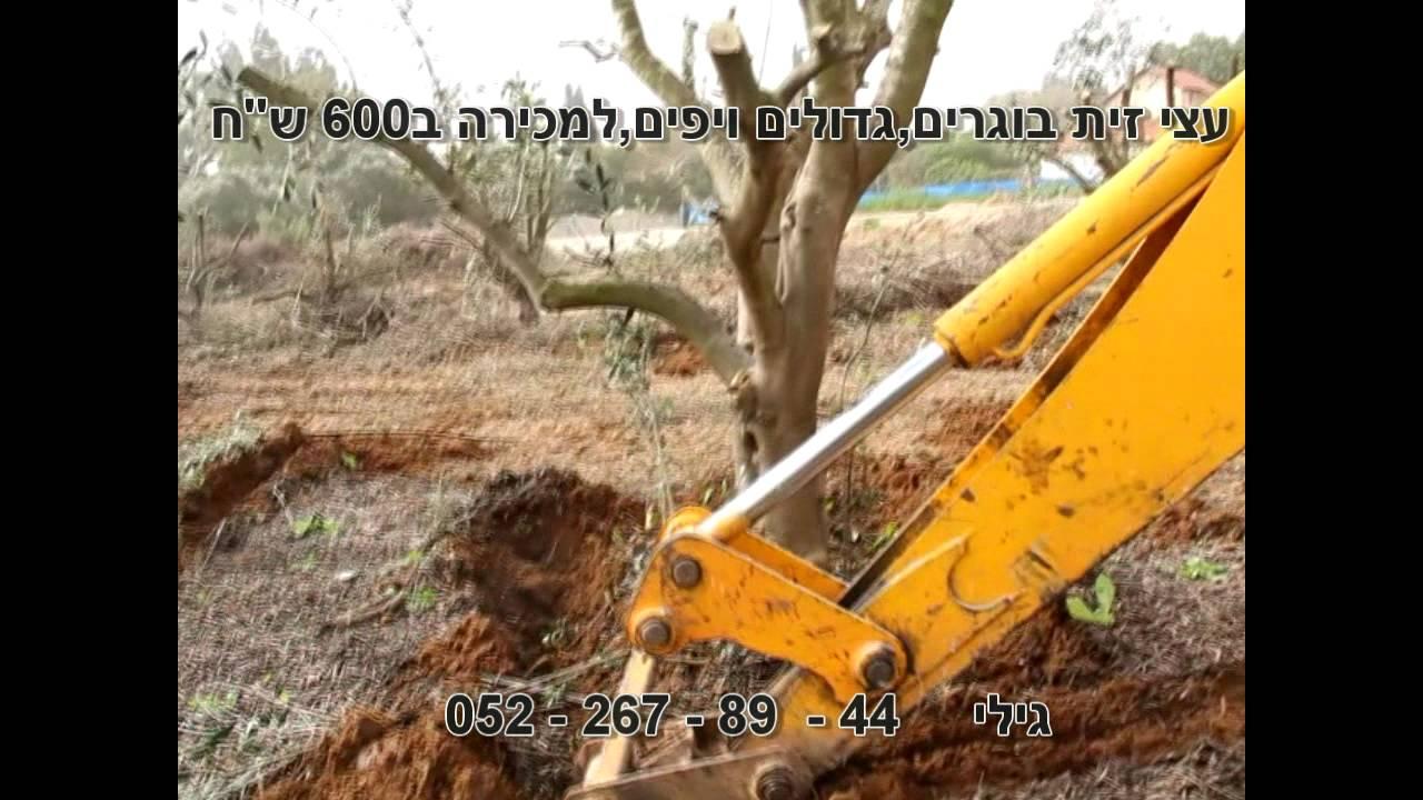 מעולה  עצי זית למכירה-מכירת עצי זית | 44 - 89 - 267 - 052 גילי גן FU-31