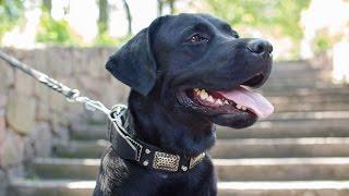 Labrador, Mastino Napoletano, Bullmastiff And Other Dogs In Fashion Dog Collar