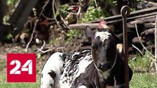 Путин разберется с GPS-маячком на рогах у коровы - Россия 24