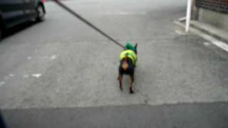 Miniature Pinscher Milo Walking In Japan