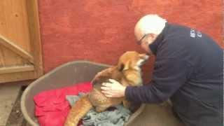 犬なみに人懐こいキツネが保護された。こうなった。助けてくれたニンゲンにイチャコラしまくりのキツネ