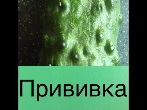 #прививка #огурца обзор