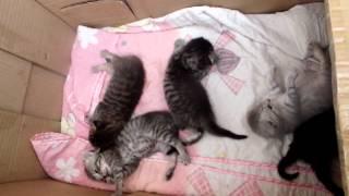 Котята скоттиш фолд/страйт