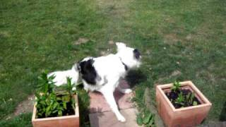 My Border Collie And Mini Yorkshire Terrier In The Garden.