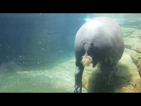 Pygmy hippopotamus - underwater view