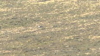 stone curlew, Sea Barn Farm, Fleet, Dorset