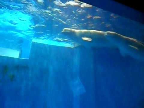 [2011-08-20] Belugas in Harbin Polar Land