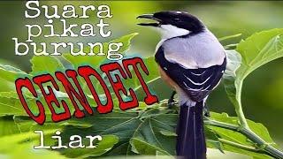 Suara Pikat Burung Cendet Liar