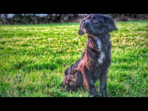 Gundog Training - Sprocker.. Vlog