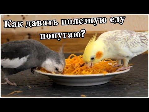 Вопрос: Какими продуктами нельзя кормить волнистого попугая в первый год жизни?