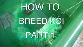 HOW TO BREED KOI PART 1
