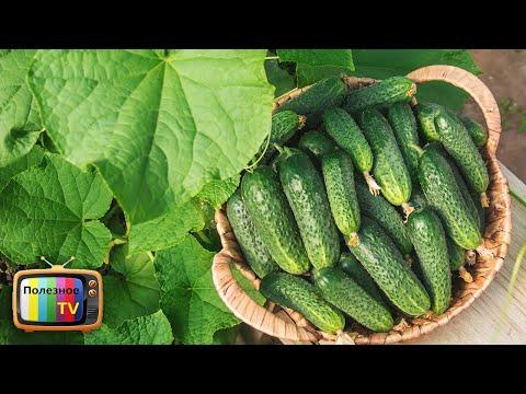 ПОСАДИВ ЭТИ ГИБРИДЫ ОГУРЦОВ В 2020 ВЫ БУДЕТЕ С БОЛЬШИМ И ВКУСНЫМ УРОЖАЕМ | увеличить | подкормка | средство | полезное | выращива | огурцов | кислота | урожай | огурцы | огурец