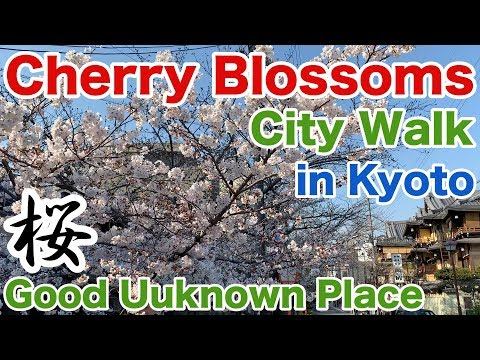 【Cherry Blossoms】Good Unknown Place to See Cherry Blossoms in Kyoto/Kiyamachi Street