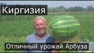"""Киргизия. Вот это арбуз! Радость фермера. Арбуз Арашан. ООО """"ЮГ-АГРО"""""""