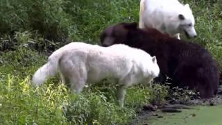 Медведь против волков
