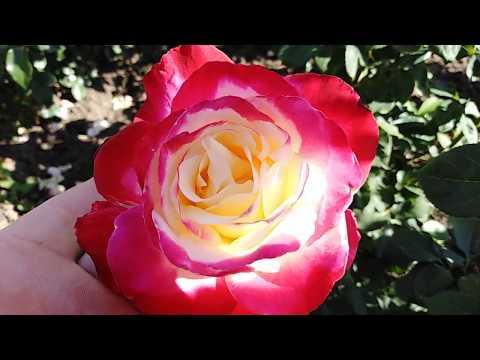 Роза Двойное удовольствие (Double Deligh) на rozapochtoi.ru