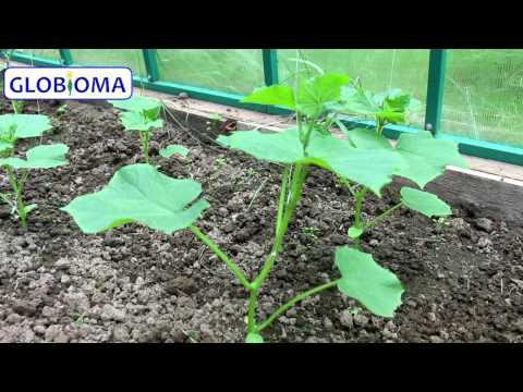 Гусеницы на капусте: как бороться, чем обработать