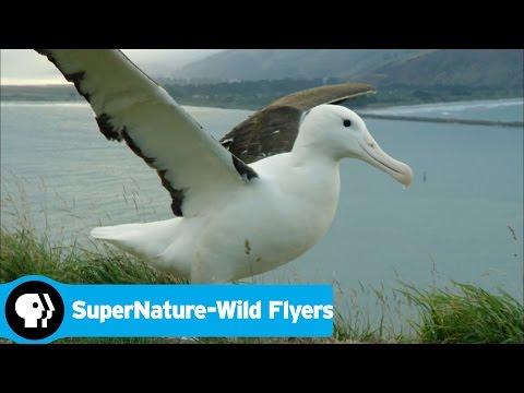 SUPERNATURE - WILD FLYERS   Albatross Soaring   PBS