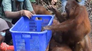 It's Really Hard To Weigh An Orangutan