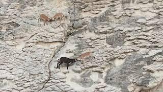 Sezonu bekleyen kuzularda agrasivite! Козочки готовы на стены лезть от того, что нет туристов.