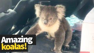 Koala Madness | Cutest and Craziest Koala Compilation 2019