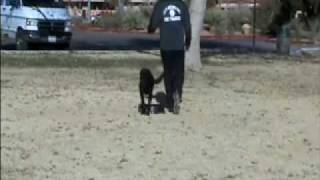 Hunting Labrador Retriever - Puppy Drills