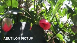 Abutilon pictum. Garden Center online Costa Brava - Girona.(Abutilon pictum. Garden Center online Costa Brava - Girona. Web: http://personalgardenshopper.es/, 2015-06-17T21:47:54.000Z)