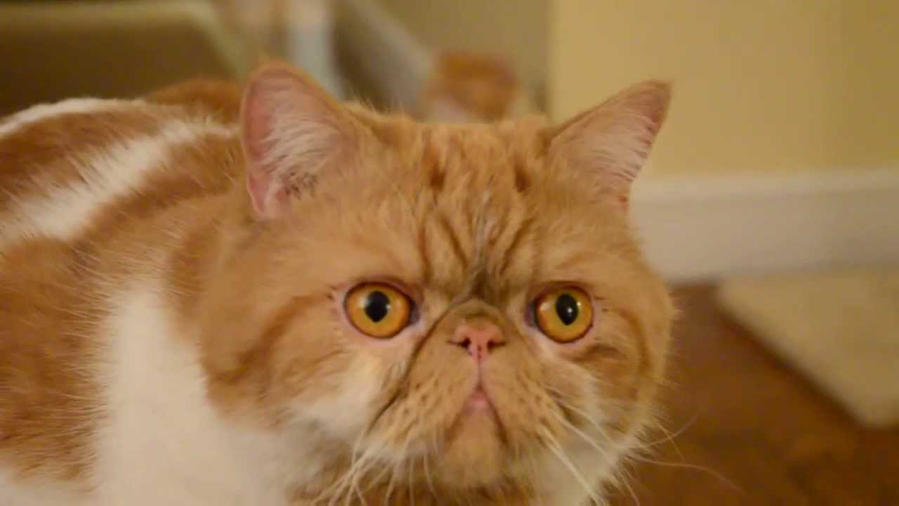 Exotic Shorthair Cat meows...at the end! - YouTube