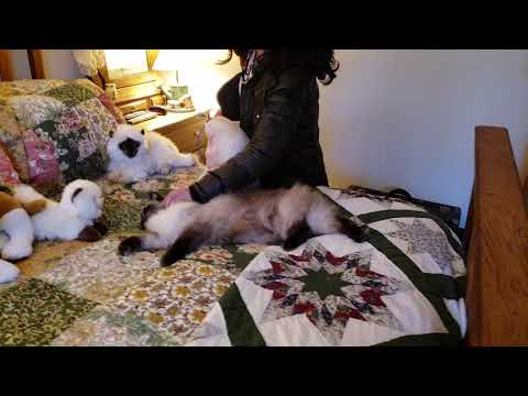 Ragdoll cat, Bugsy loves his original mama Breeder Marie
