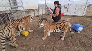 Большие Тигры и мыльные пузыри