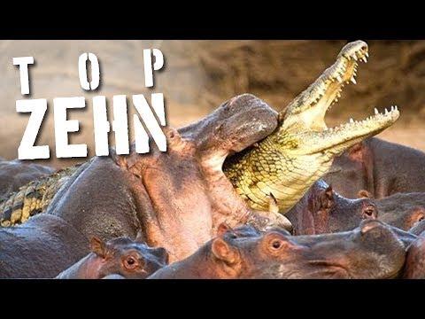 Die 10 tödlichsten Tiere der Welt!