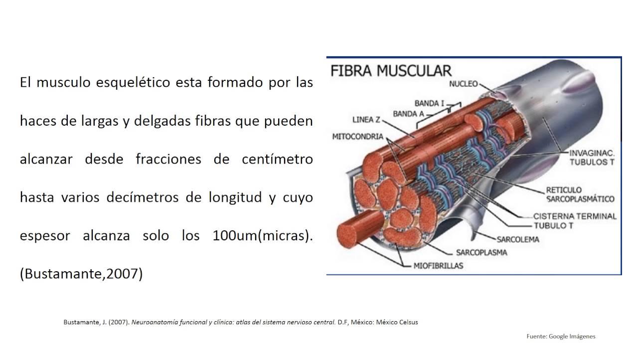 Estructura del musculo esqueletico - YouTube